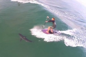 SUP surfing over a Great White shark!!